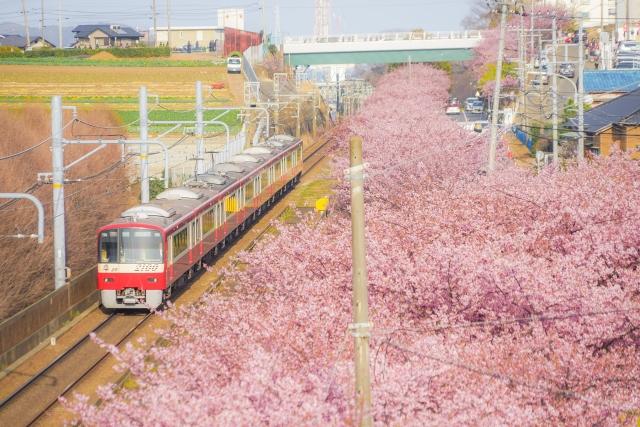 海岸 三浦 河津 2021 桜